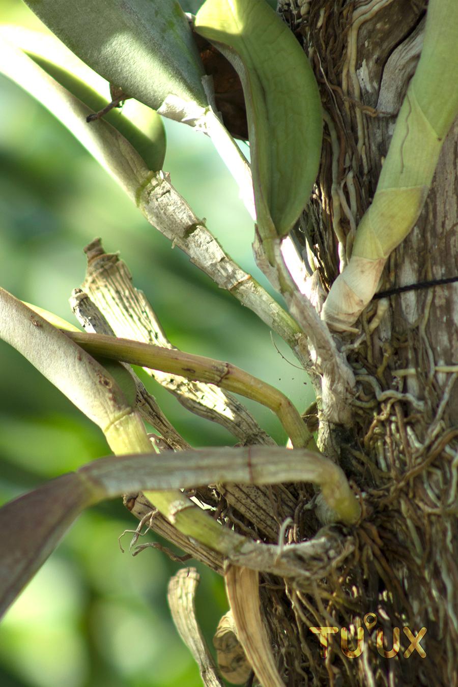 epifita
